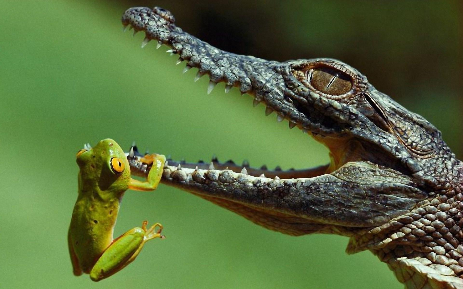 Маленький аллигатор  № 1381869  скачать