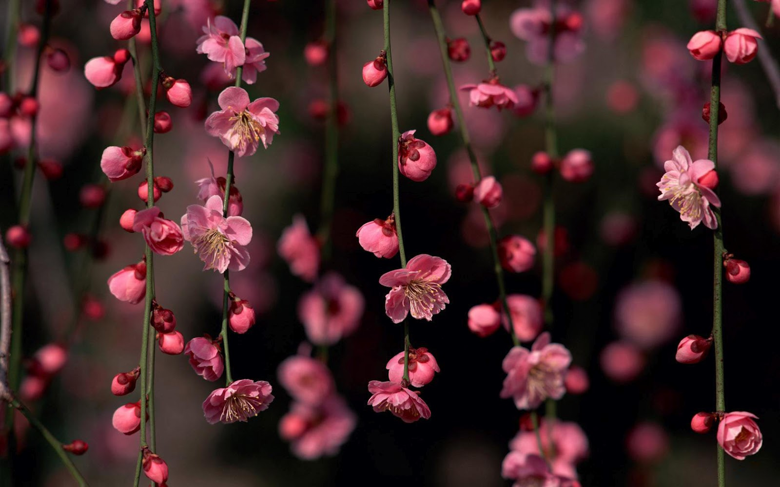 WnP Wallpapers Pictures Flower branches wallpaper 1600x1000