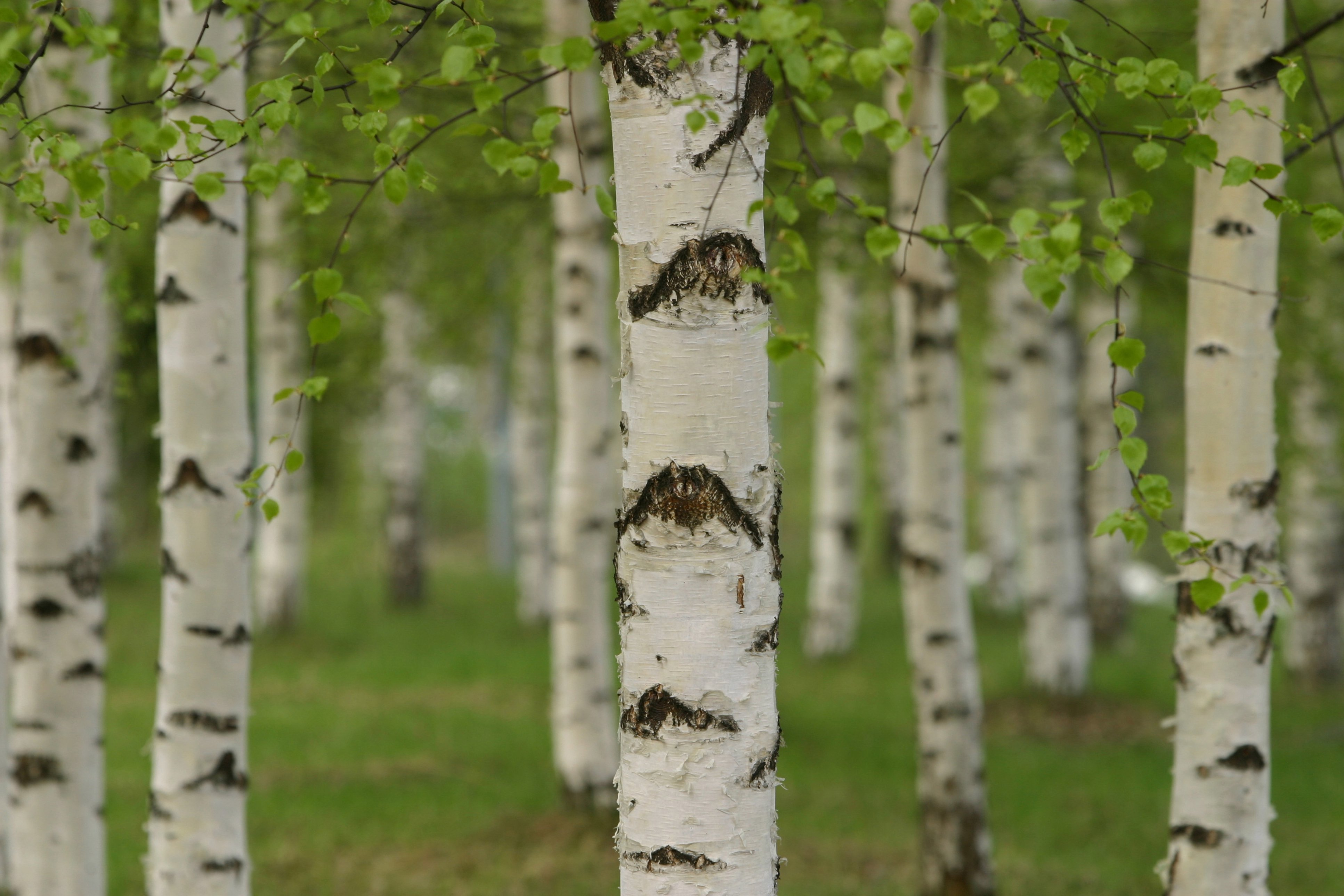 Wallpaper birch wood timber wallpapers landscapes   download 3866x2577