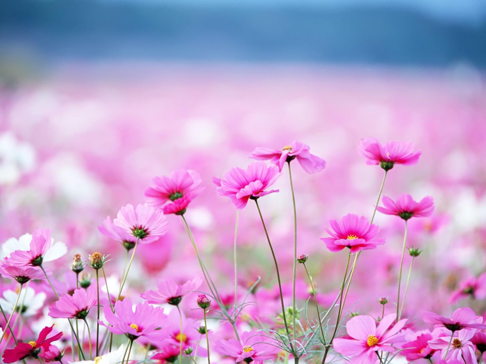 Wallpaper Spring Pink Flower 1600x1200