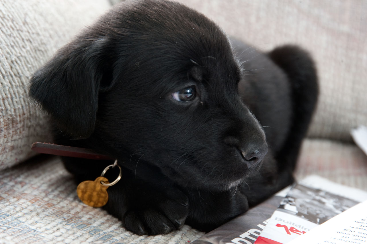 Black Lab Puppy Wallpapers Black Lab Puppy Wallpapers For 1280x852