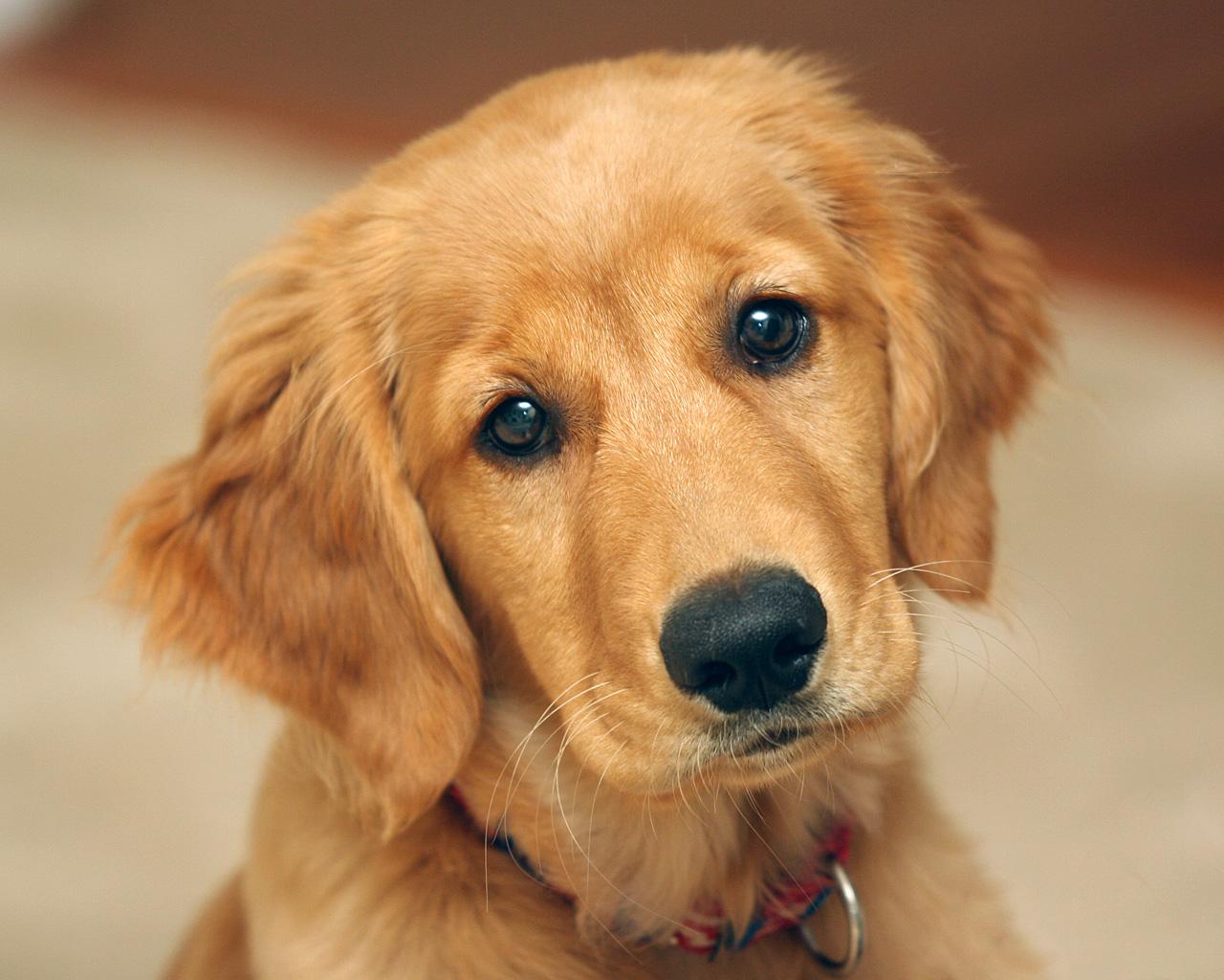 Cute Golden Retriever Puppy wallpaper   ForWallpapercom 1280x1024
