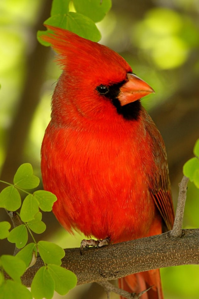 Red Cardinal 640x960