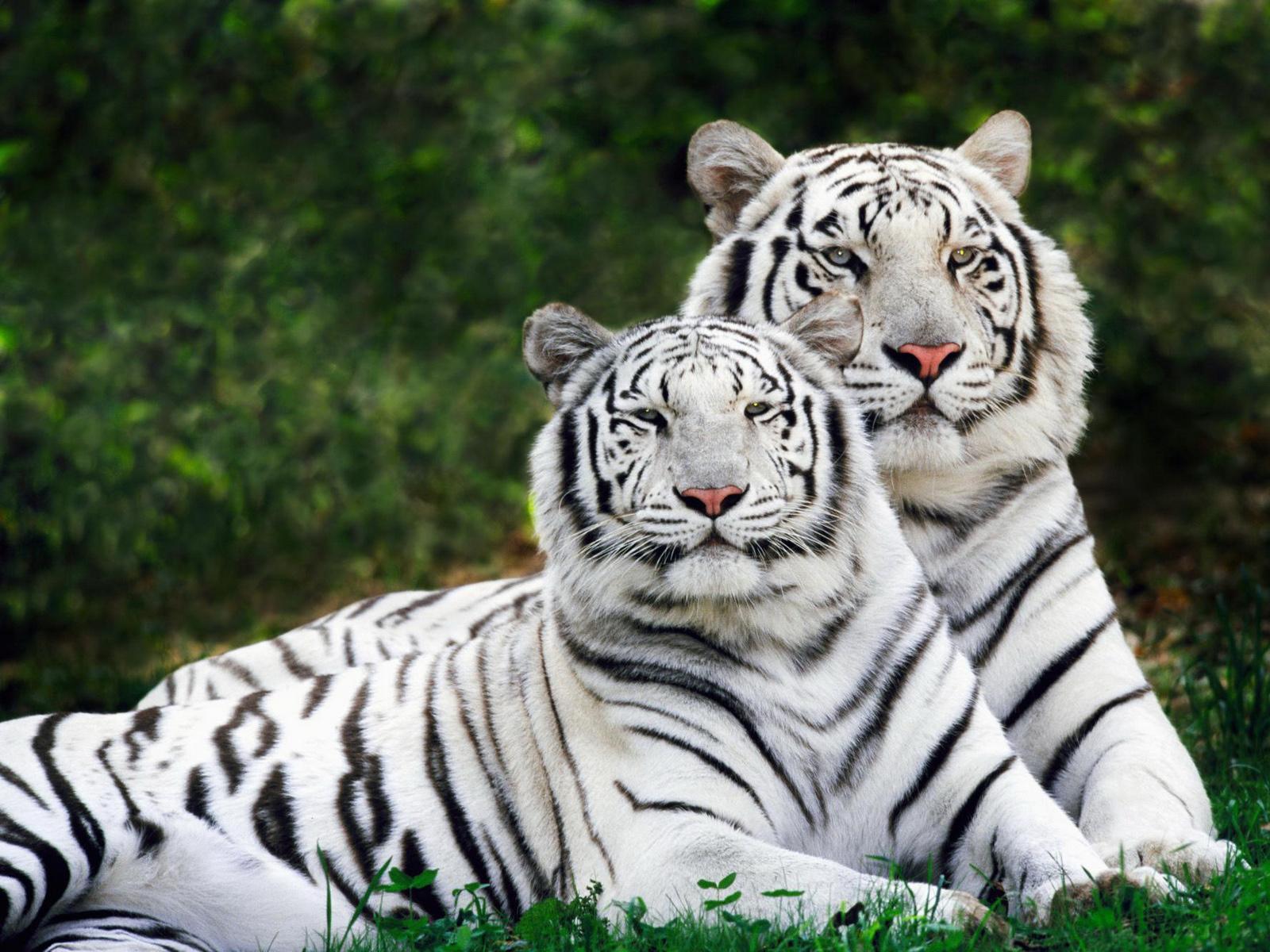 Desktop Wallpapers Backgrounds Tiger Wallpapers 1600x1200