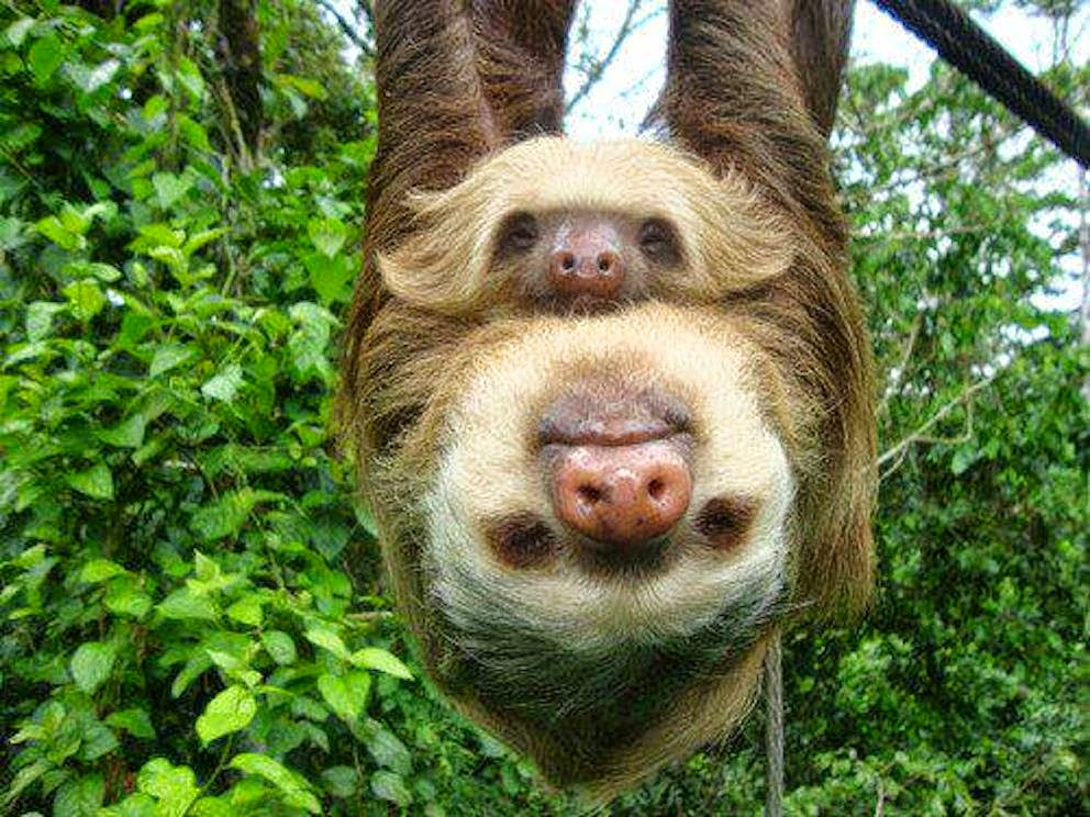 Free Download Sloths Photos Wallpapers The Fun Bank 992x744 For Your Desktop Mobile Tablet Explore 42 Baby Sloth Wallpaper Free Wallpaper Sloth Hd Sloth Wallpaper Sloth Wallpaper For My Desktop