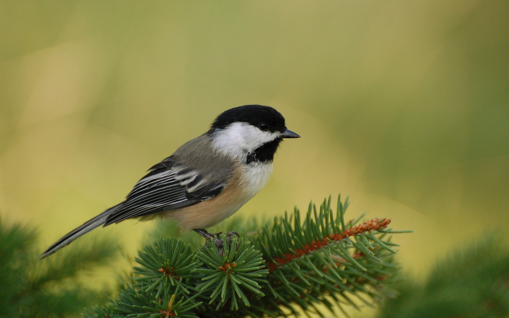 bird on a branch wallpapers and images   wallpapers pictures photos 1680x1050