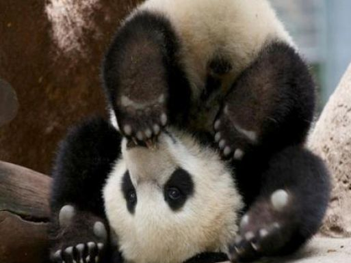 Baby panda bear wallpaper pictures 4 513x385