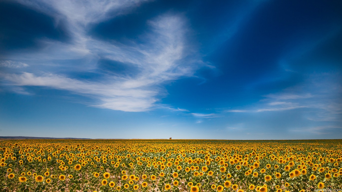 huge field of sunflowers wallpapers and images   wallpapers 1366x768