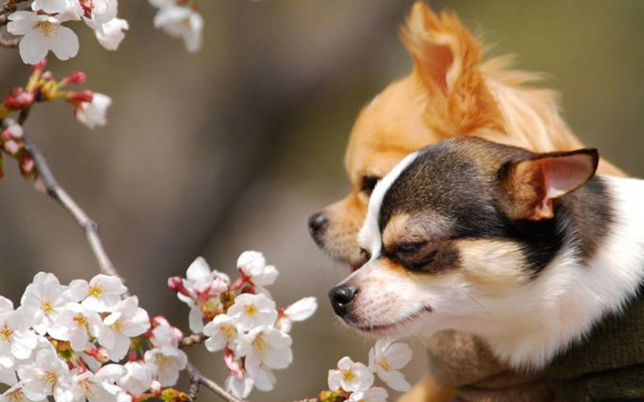dog chihuahua background - photo #27