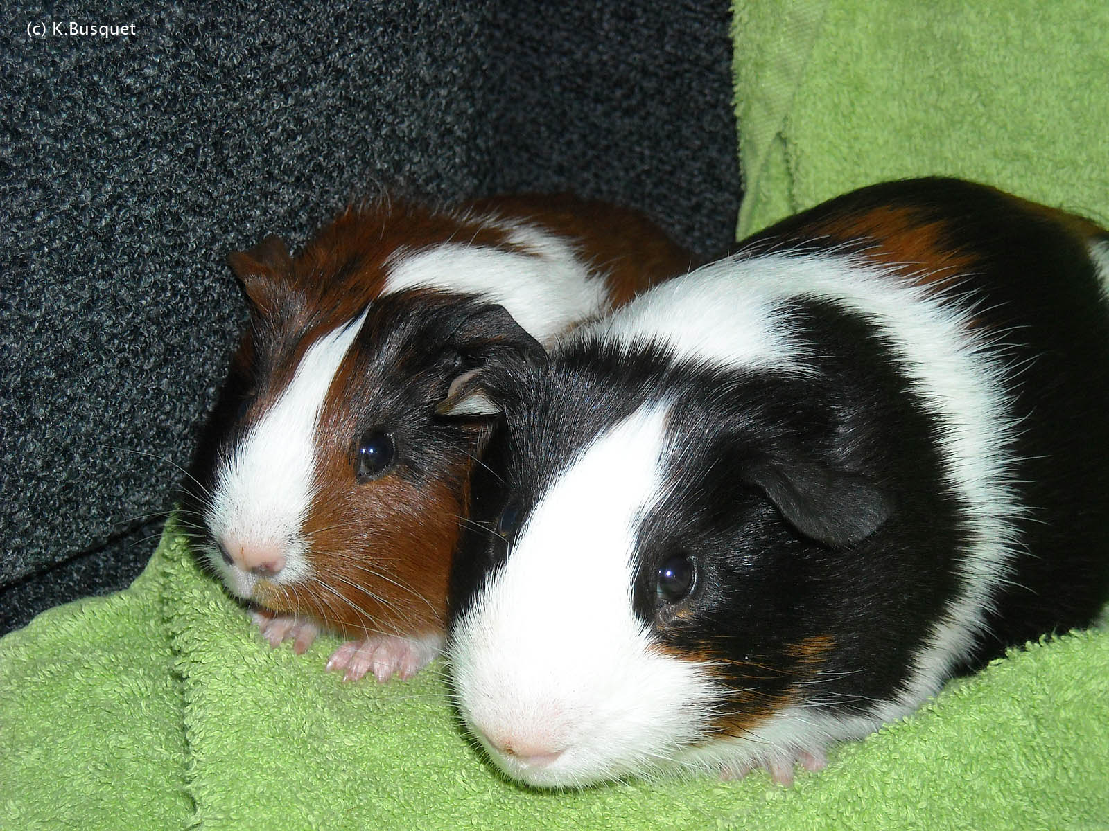 Very Sweet and Cute Animals Funny Guinea Pig wallpaper for widescreen 1600x1200
