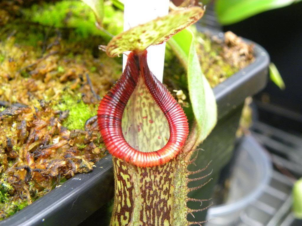 Nepenthes x [hamata x platychila] photos 1024x768
