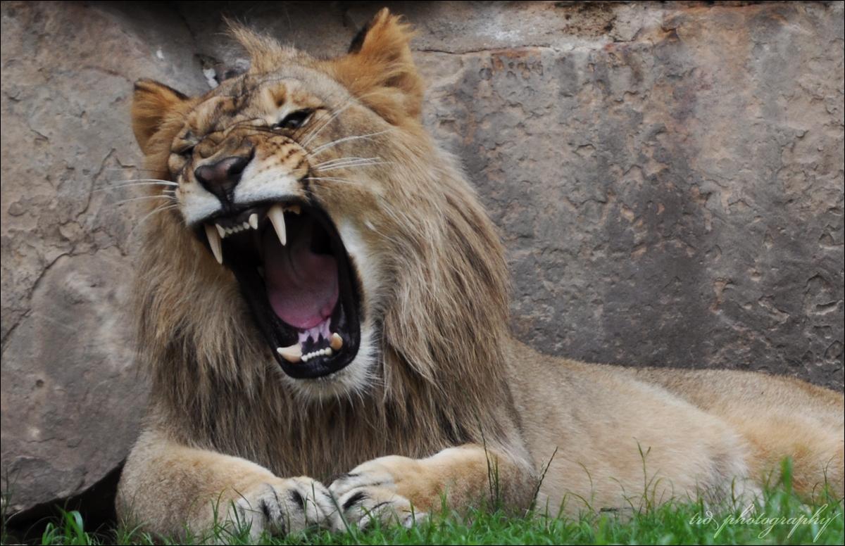 Lion Roar Wallpaper - WallpaperSafari