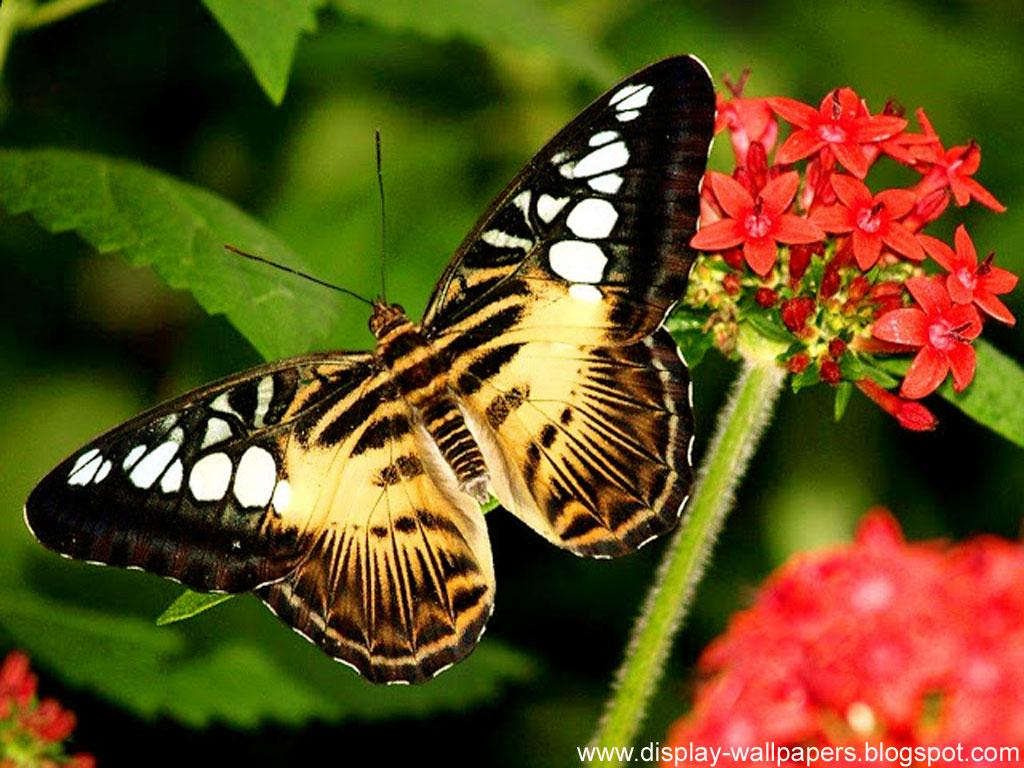Butterfly Desktop Wallpaper HD Wallpaper HD And Background 1024x768