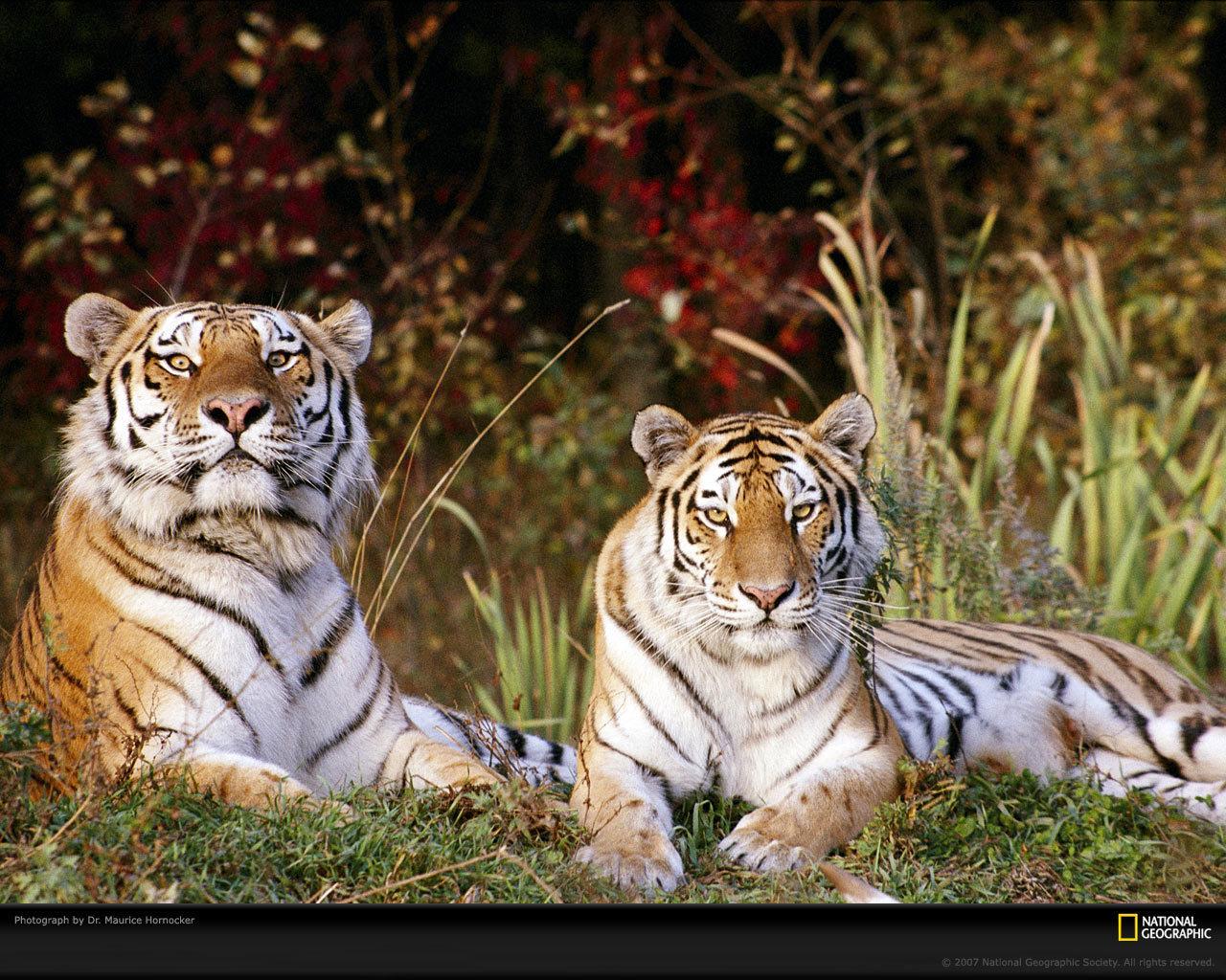 Tiger Wallpaper   Tigers Wallpaper 9981546 1280x1024