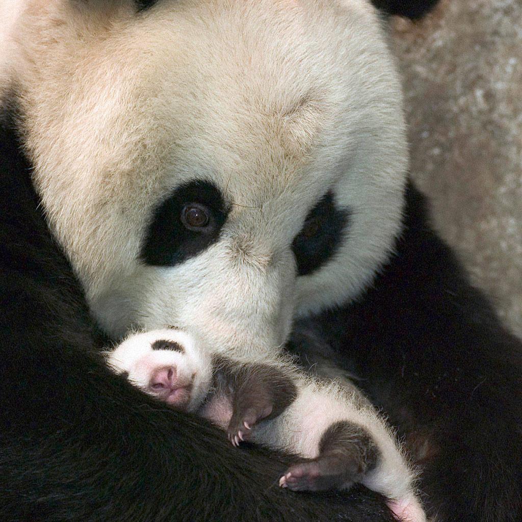 Animals   Cute Baby Panda   iPad iPhone HD Wallpaper 1024x1024