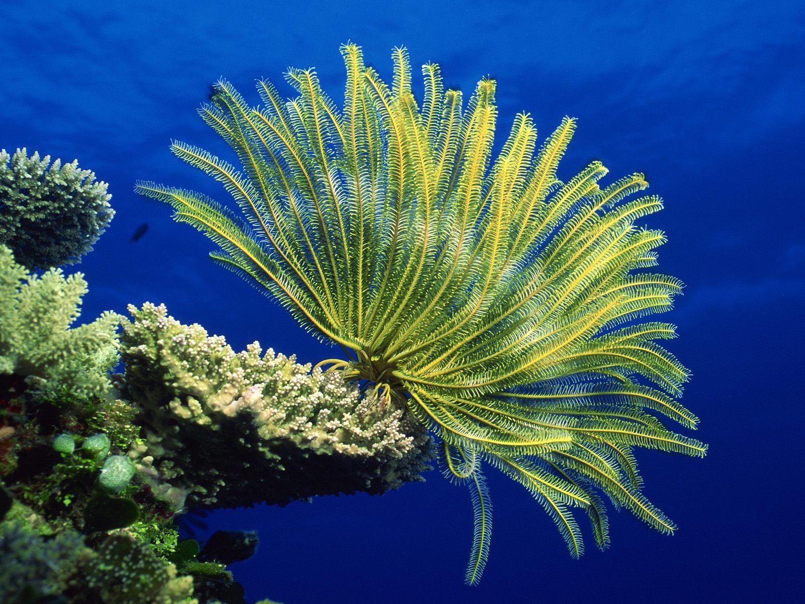 Crinoid Coral Sea HD dekstop wallpapers   Crinoid Coral Sea 1600x1200