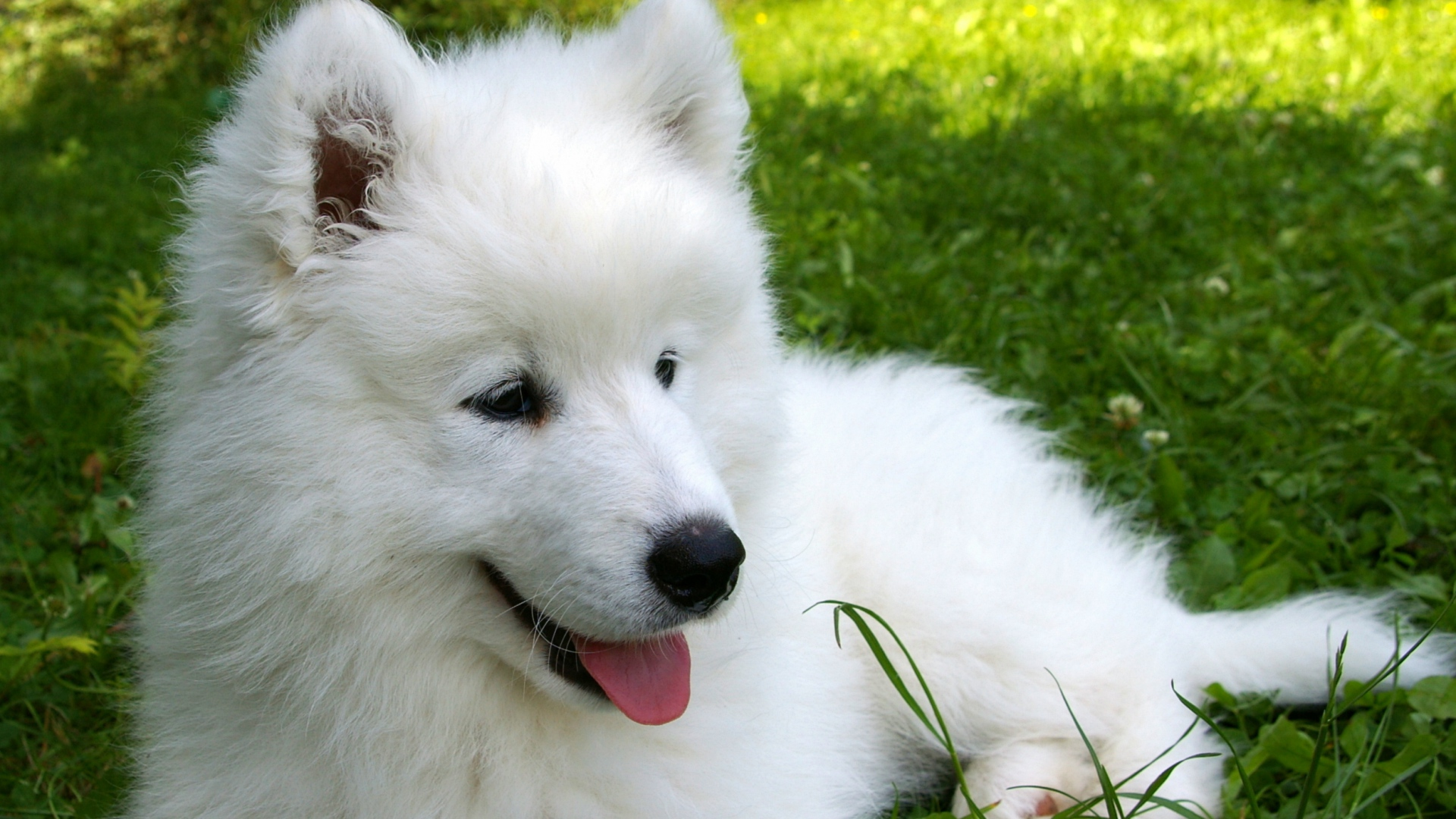 Samoyed Wallpapers and Background Images   stmednet 1920x1080