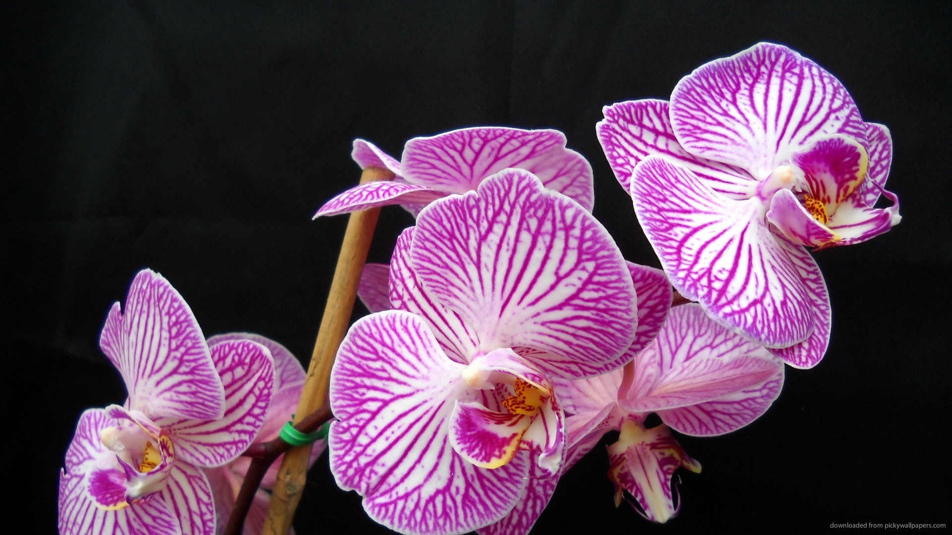 Stunning Purple Phalaenopsis Orchid Flowers Wallpaper Picture For 1920x1080