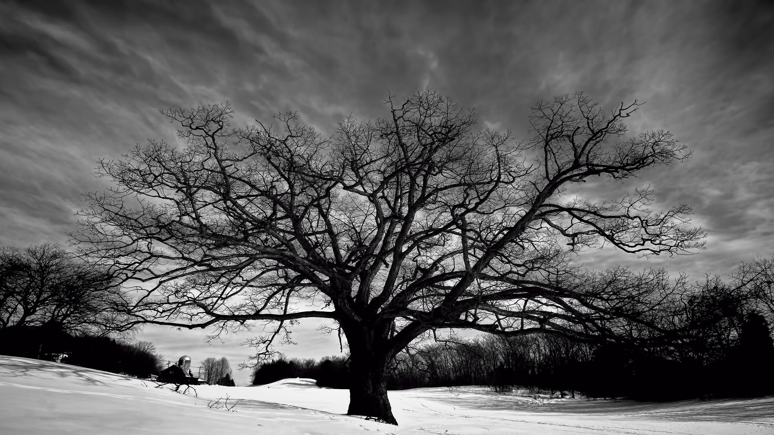 Big Oak Tree Black And White Hd Wallpaper Wallpaper List 2560x1440