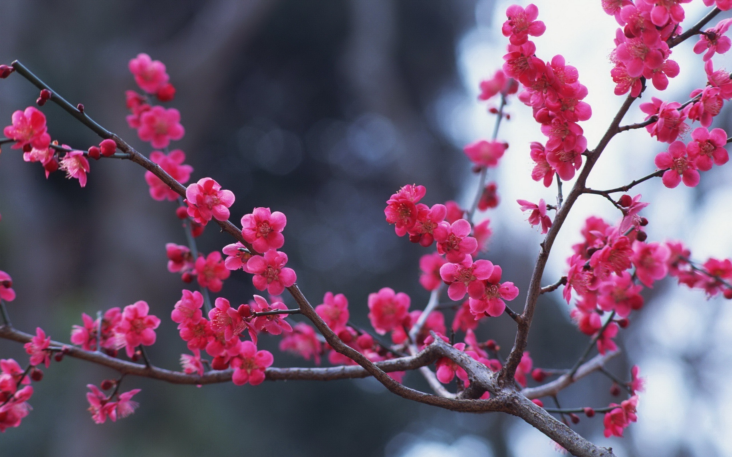 Spring Nature Wallpaper with branches pink flowerjpg 2560x1600