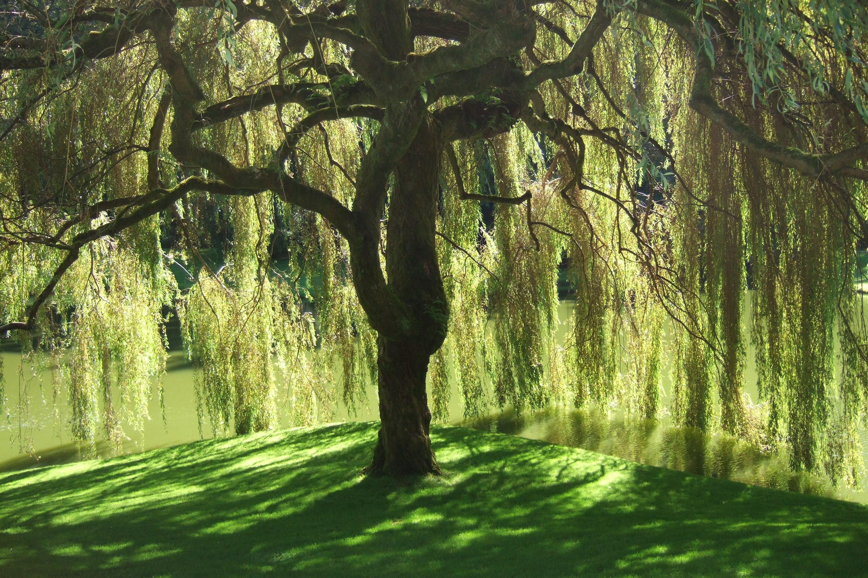 Willow Tree 3024x2016
