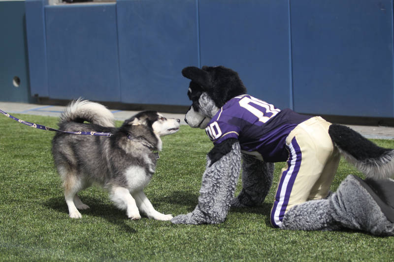BandCheerMascot   University of Washington Official Athletics Site 800x533