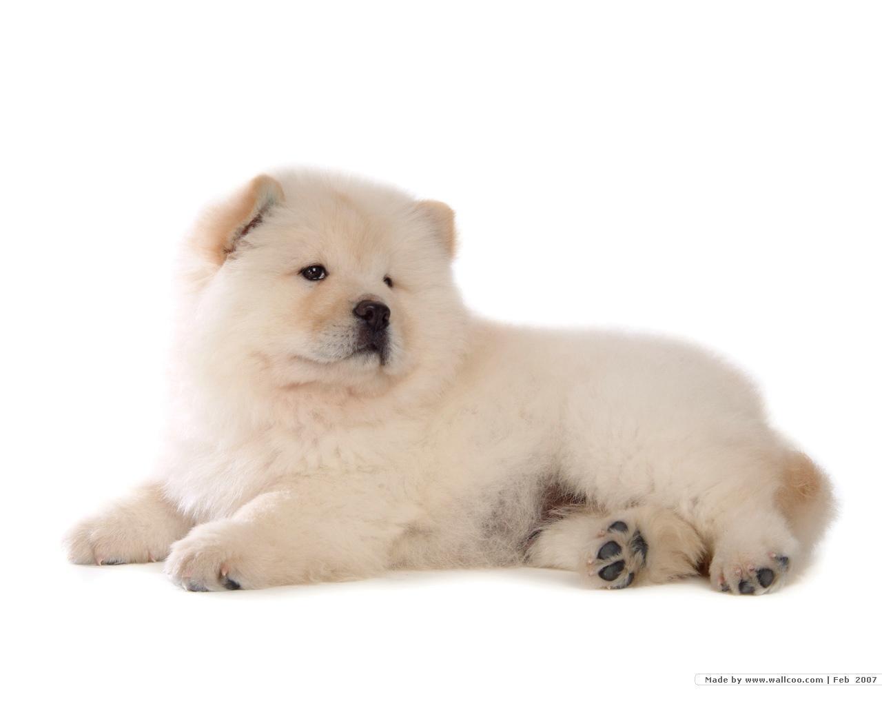 Chow Chow Wallpaper   Dogs Wallpaper 13936694 1280x1024