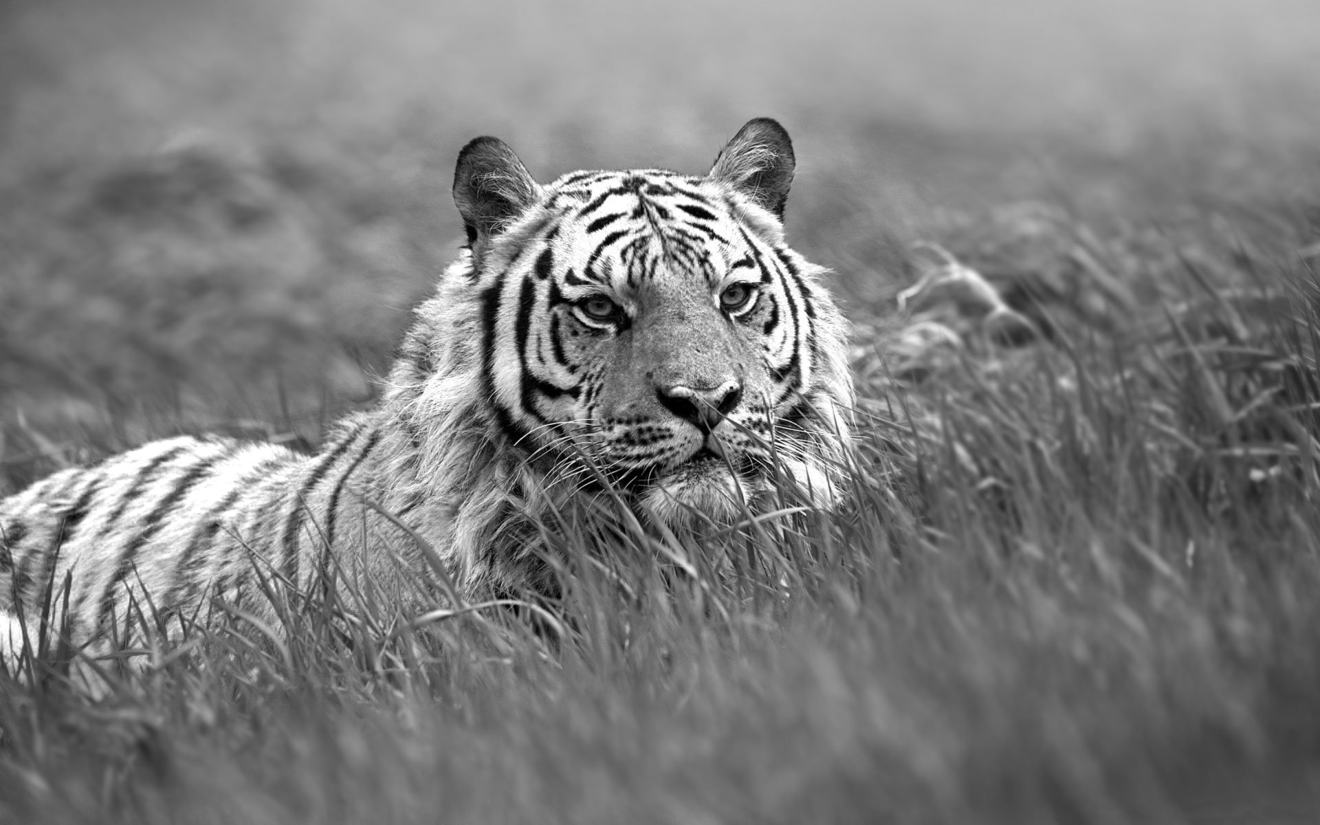 Black And White Tiger Background Black and White Tiger ...