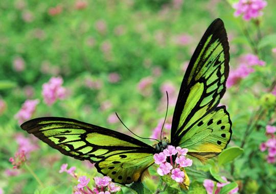 Green Butterfly Wallpaper Green butterfly wallpaperfree butterfly 540x380