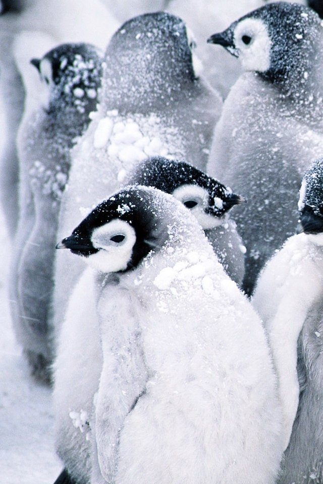 Baby Penguins wallpaper iPhone Wallpapers 640x960