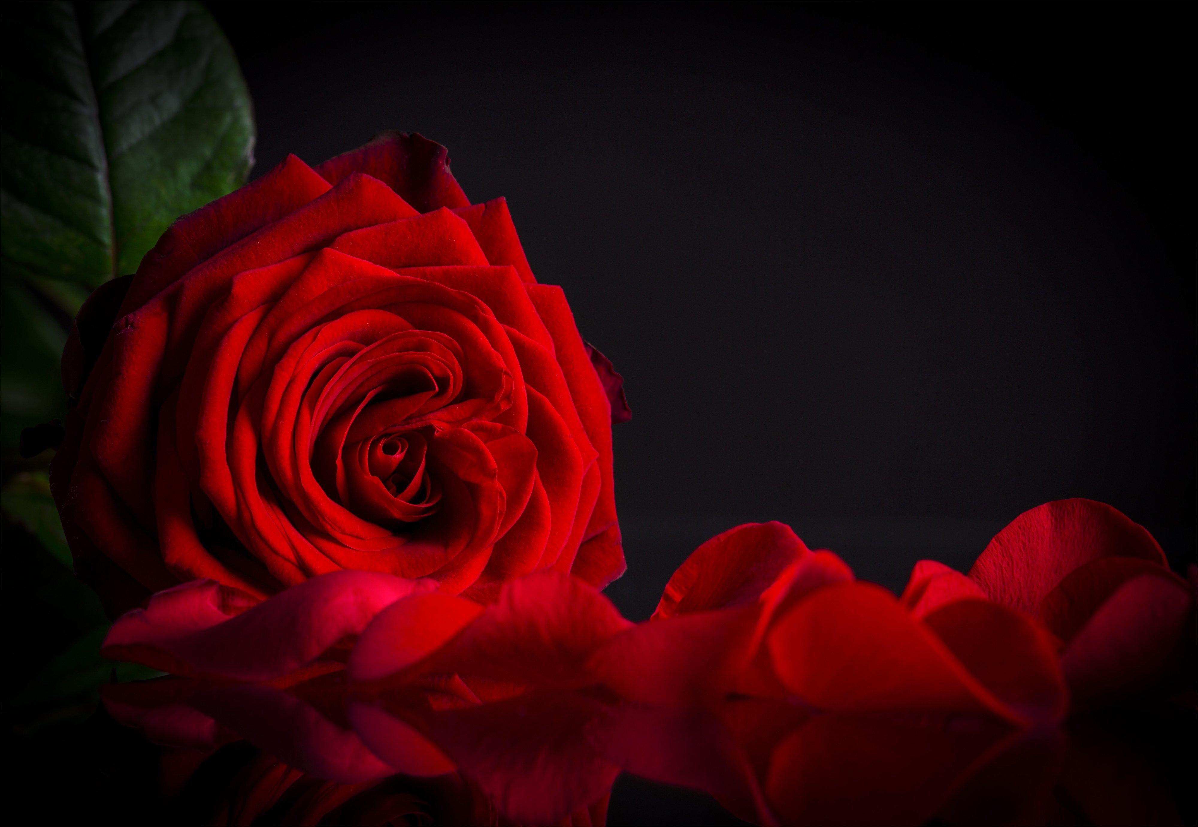 Red Roses Black Background