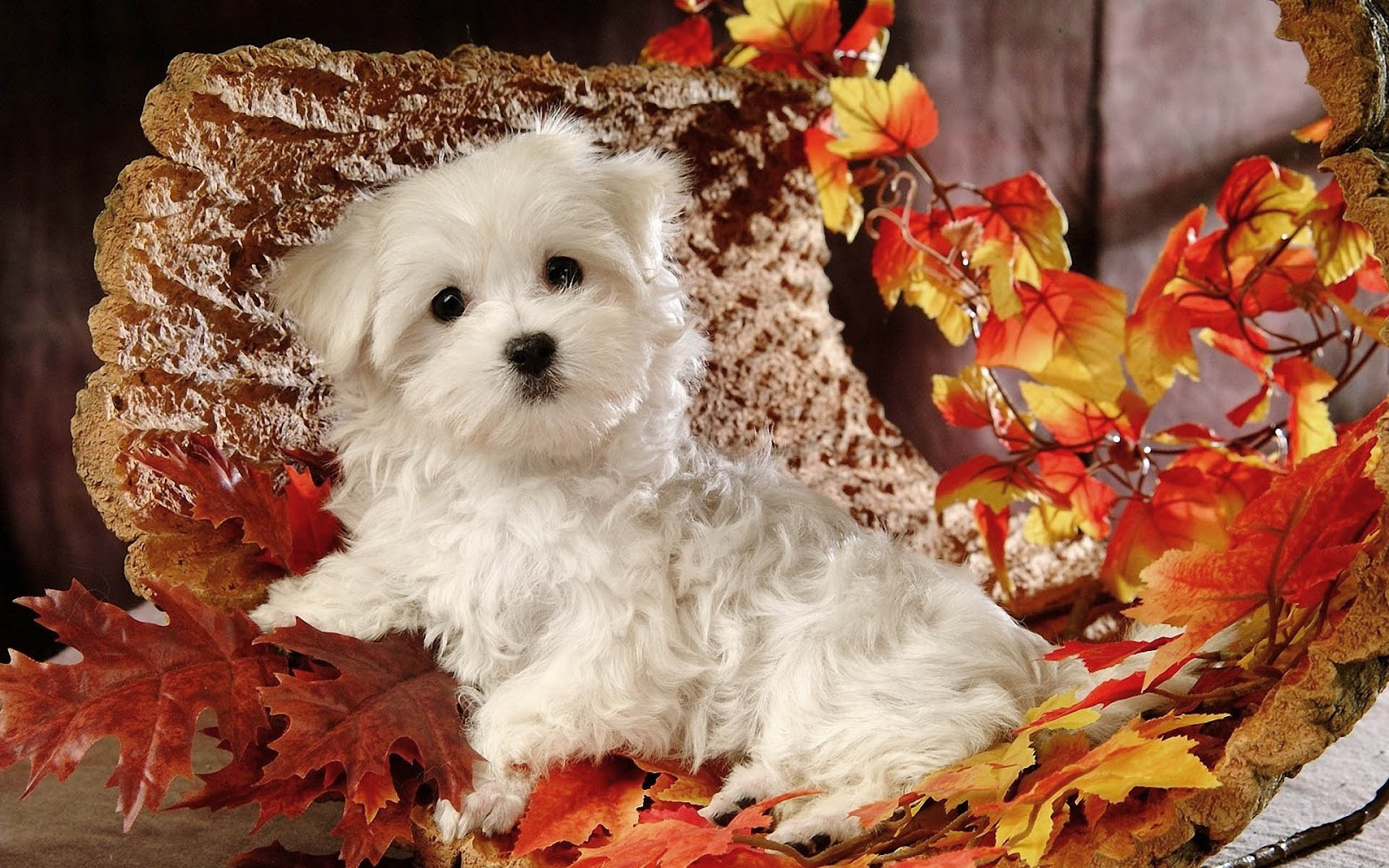 hd autumn wallpaper with a cute maltese dog with autumn leaves hd dog 1600x1000