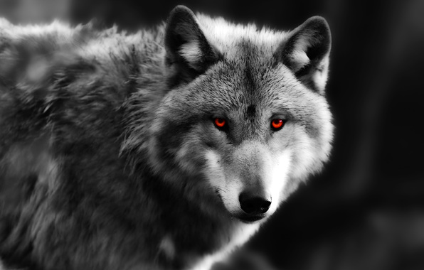 Wallpaper wolf eyes predator eyes wallpapers animals   download 596x380