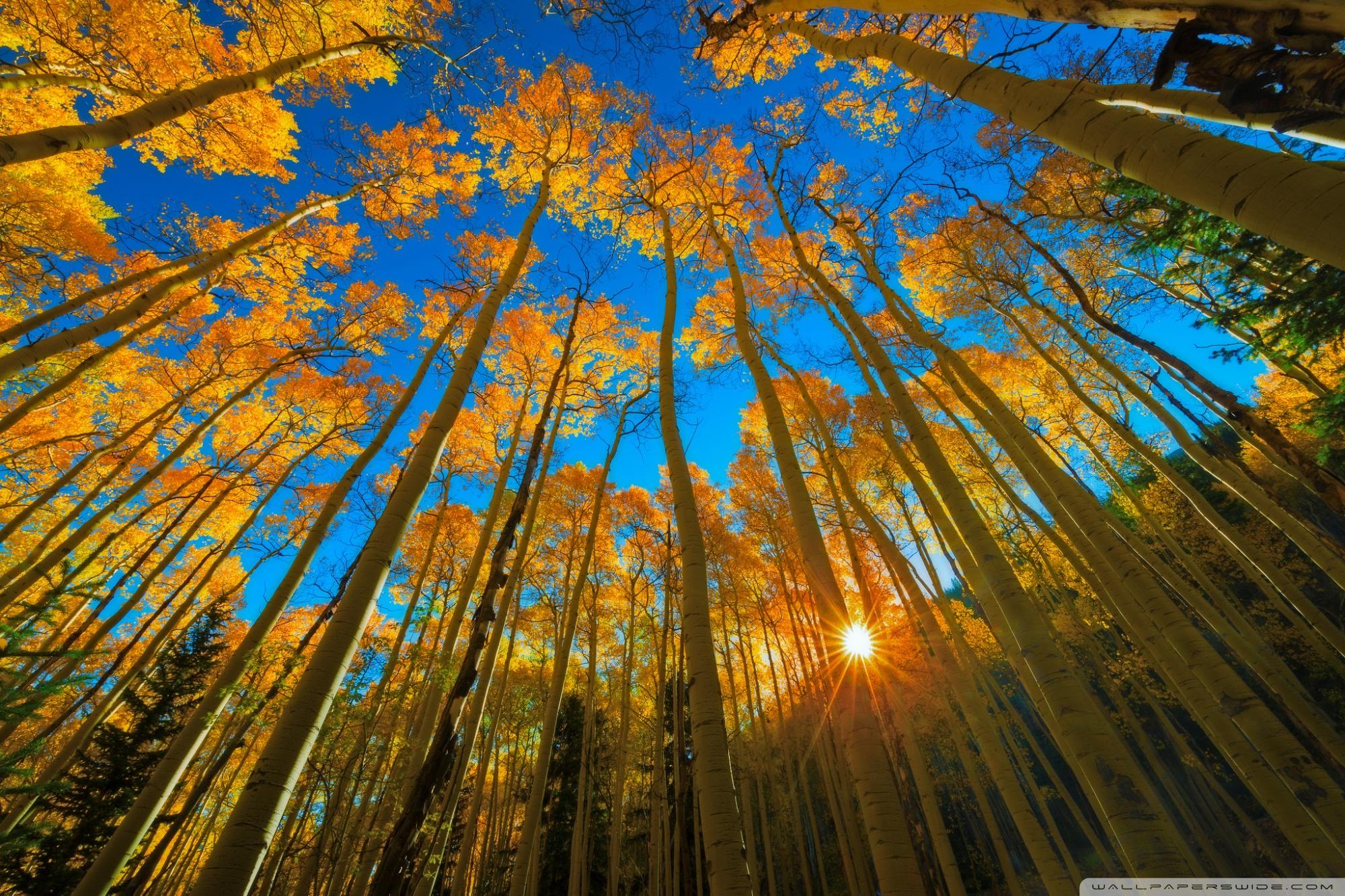 Aspen Trees wallpaper 2000x1333