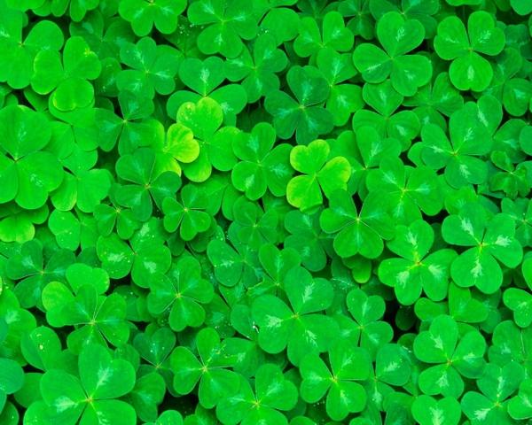 clover clovers 1280x1024 wallpaper Green Wallpapers Desktop 600x480