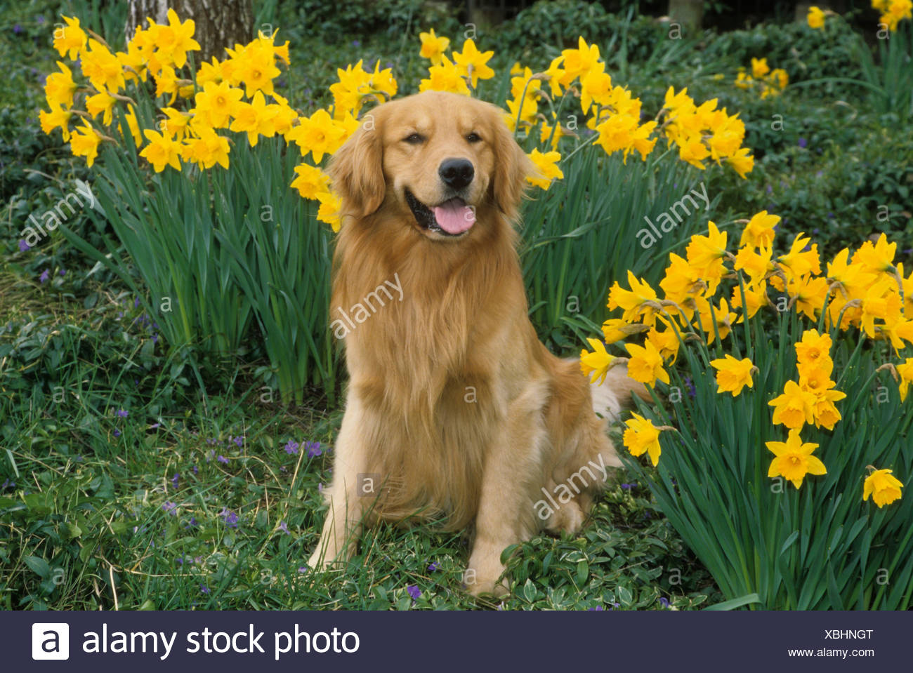 Portrait of Golden Retriever dog with daffodils in background 1300x959