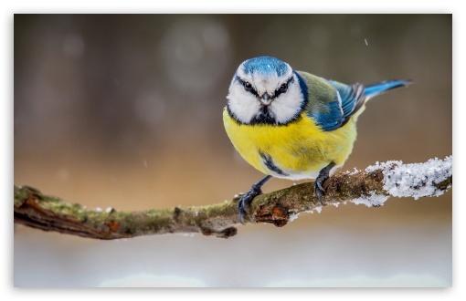 Blue Yellow Bird HD wallpaper for Wide 1610 Widescreen WHXGA WQXGA 510x330