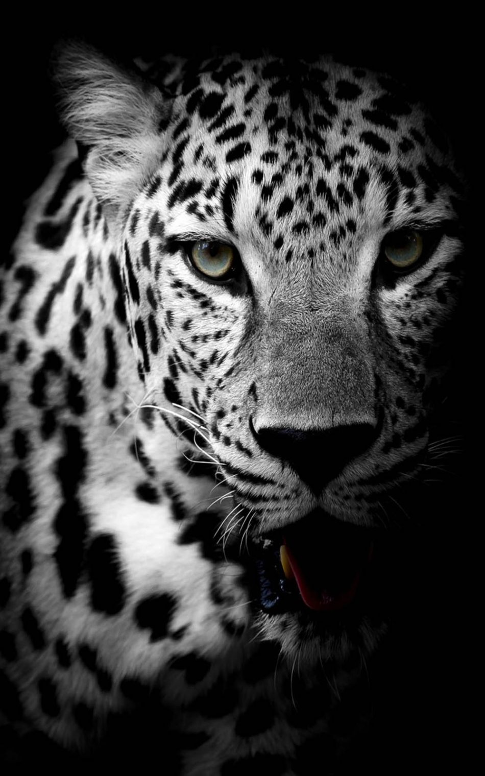 Free Download Download Leopard Black White Pure 4k Ultra Hd Mobile Wallpaper 950x1520 For Your Desktop Mobile Tablet Explore 14 Black Jaguar Hd Mobile Wallpaper Black Jaguar Hd Mobile