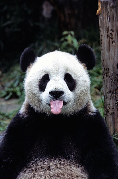 Panda bears cute pictures and fascinating facts   Telegraph 411x620