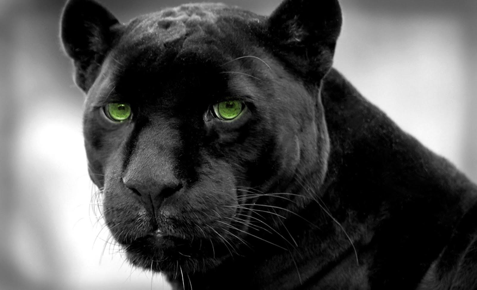 black panther black panther black panther black panther 1600x972