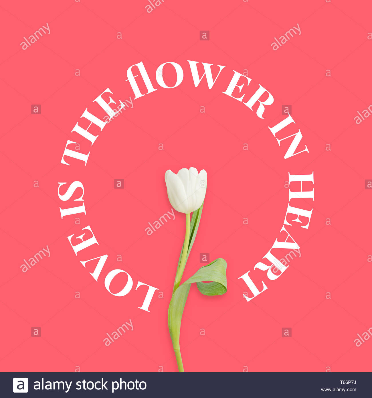 Beautiful spring flowers White tulip Love is the flower Love 1300x1390