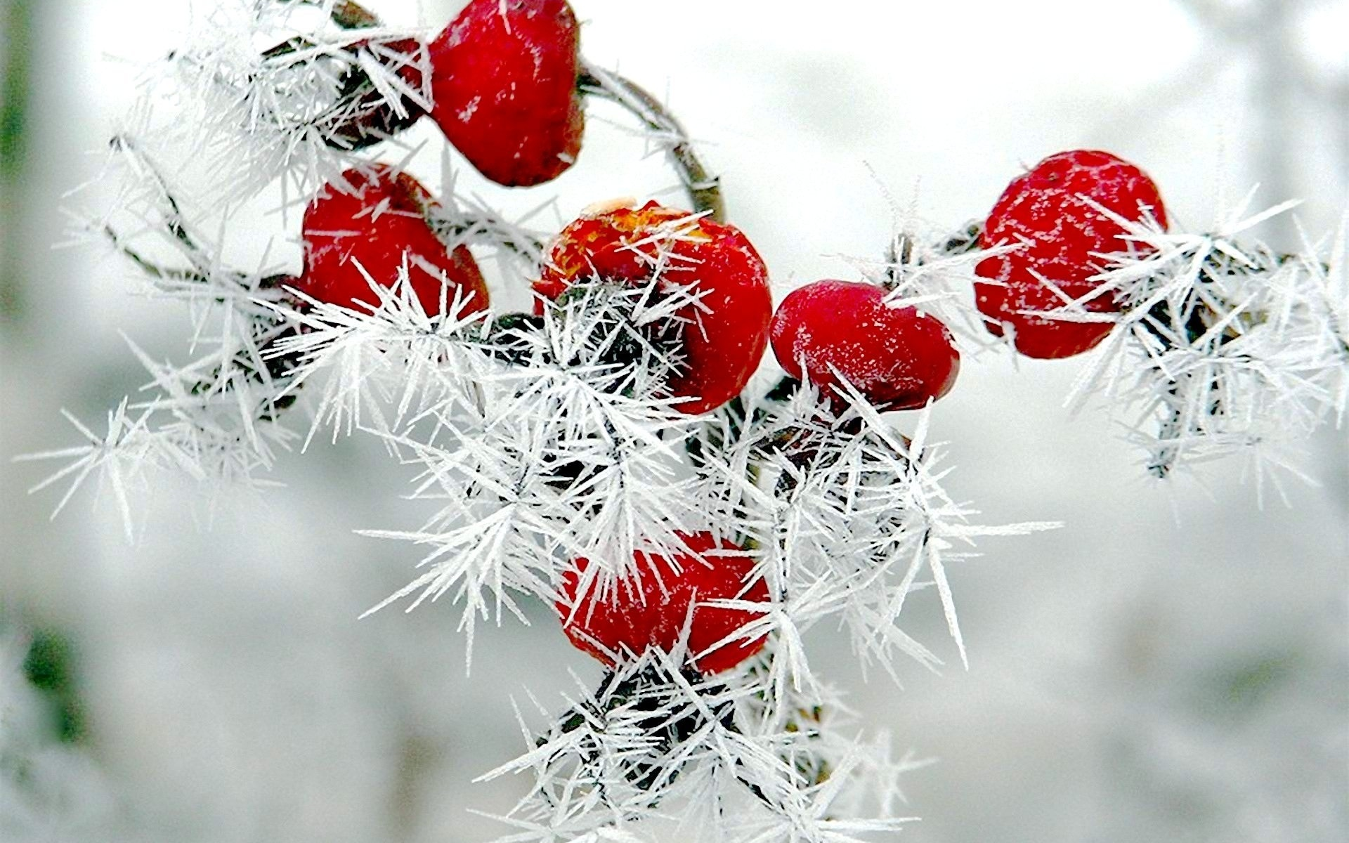 Winter berries wallpaper wallpapersafari - Rose in snow wallpaper ...