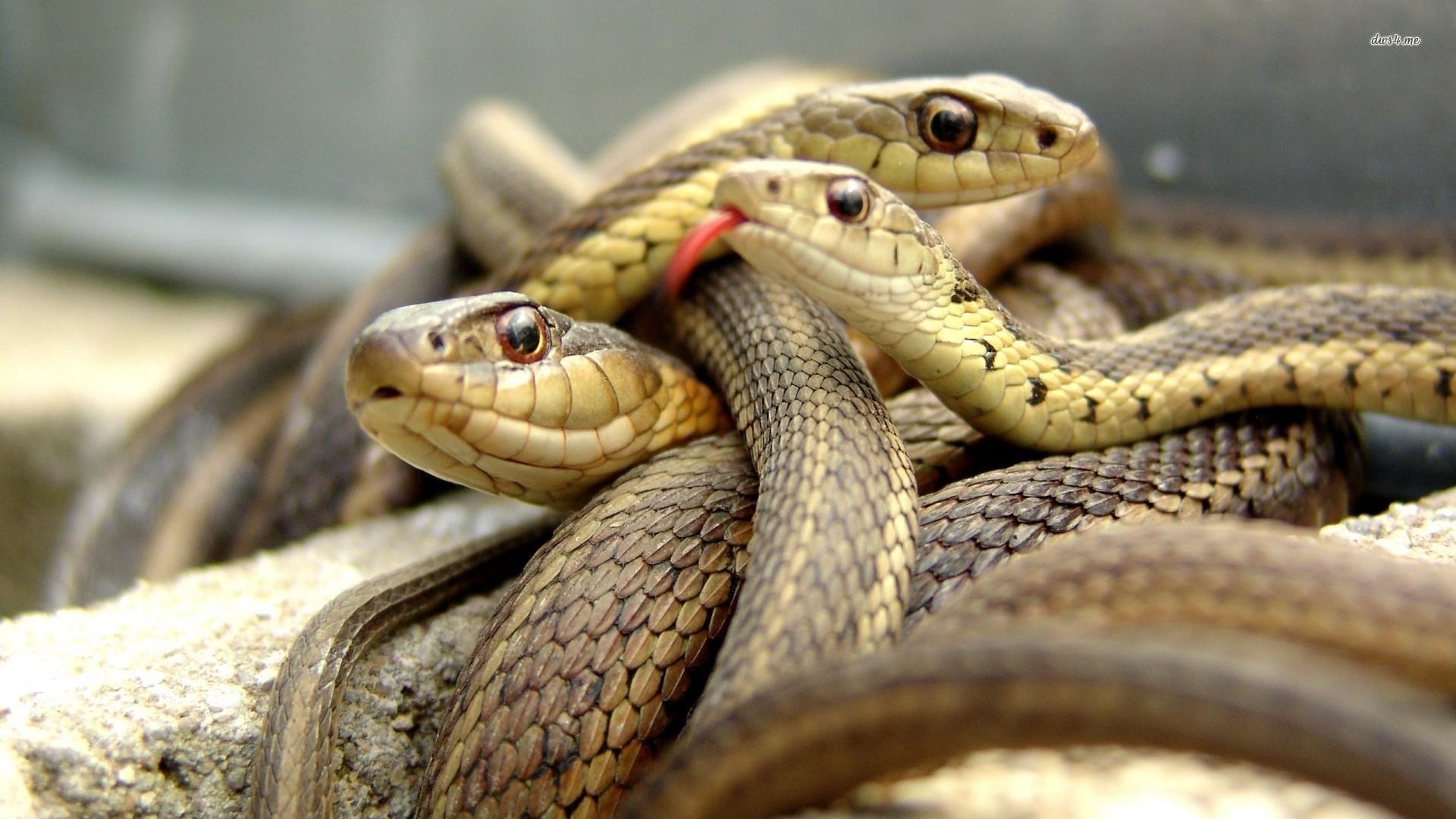 wallpaper com desktop poisonous snake pictures desktop poisonous snake 1920x1080