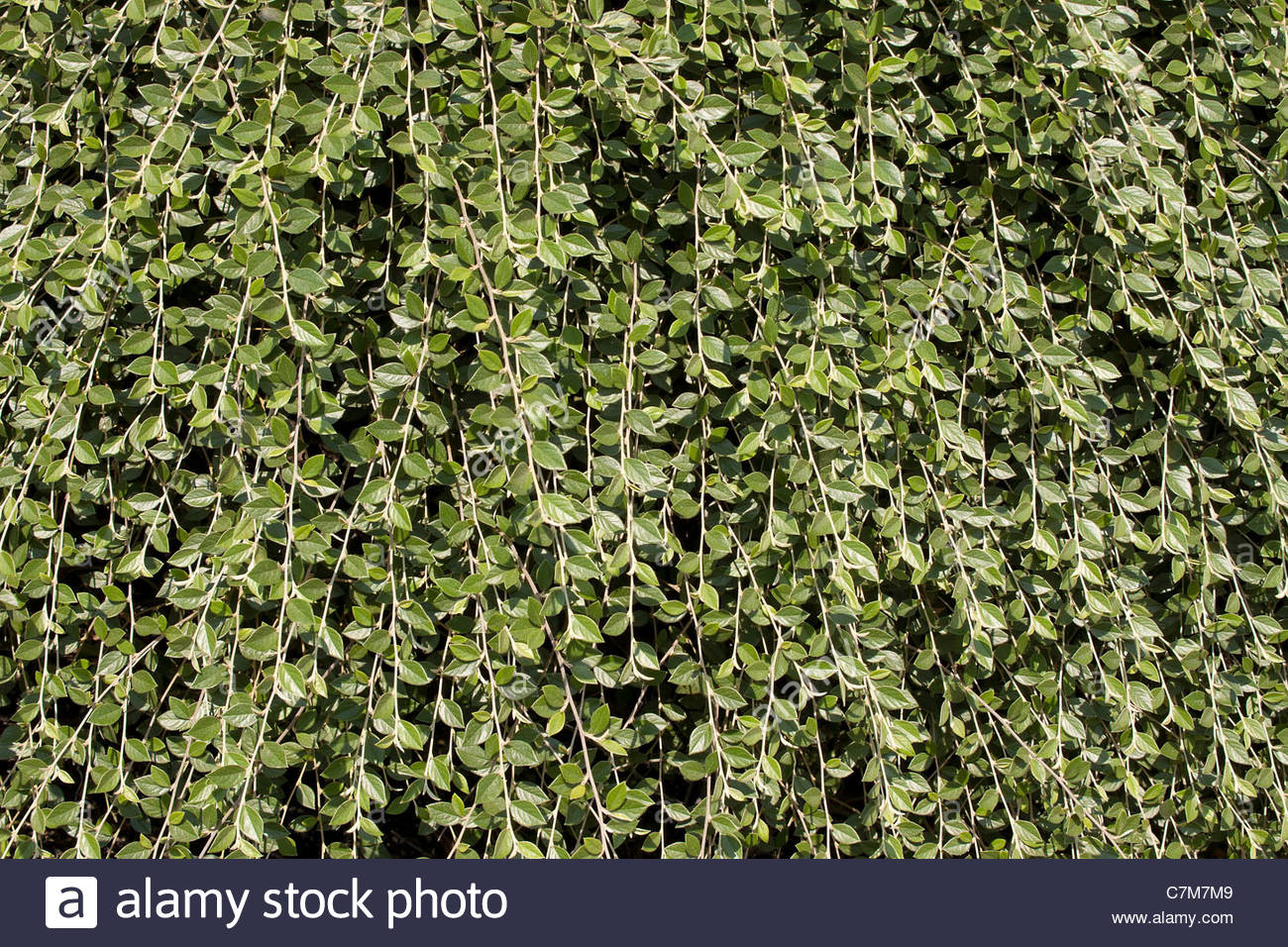 Climbing Vines Plant Background Stock Photo 39168425   Alamy 1300x956