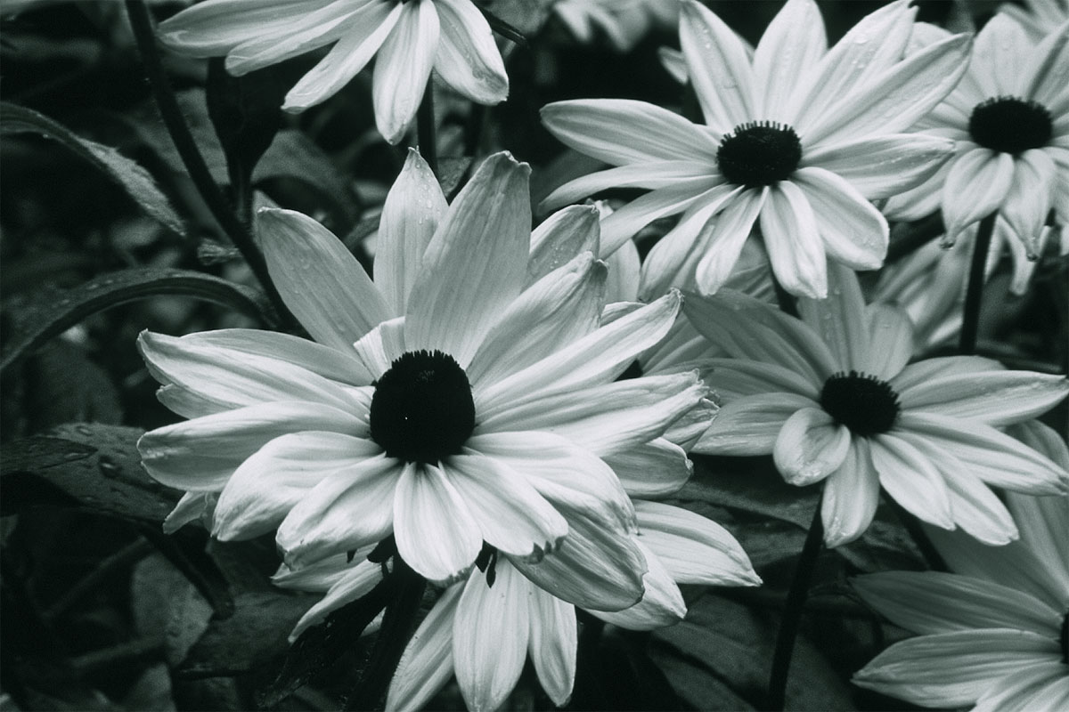 Black And White Flower Desktop Backgrounds Flowers Healthy