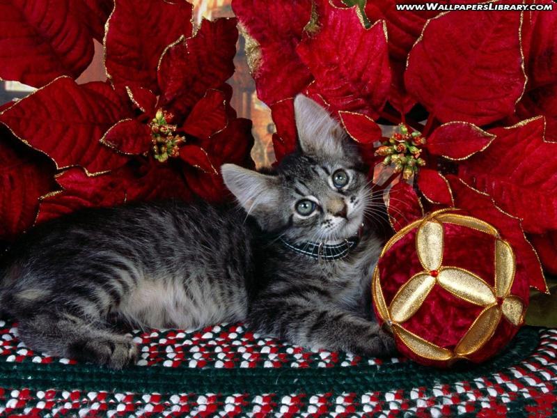 Christmas Cat Desktop Wallpaper 800x600