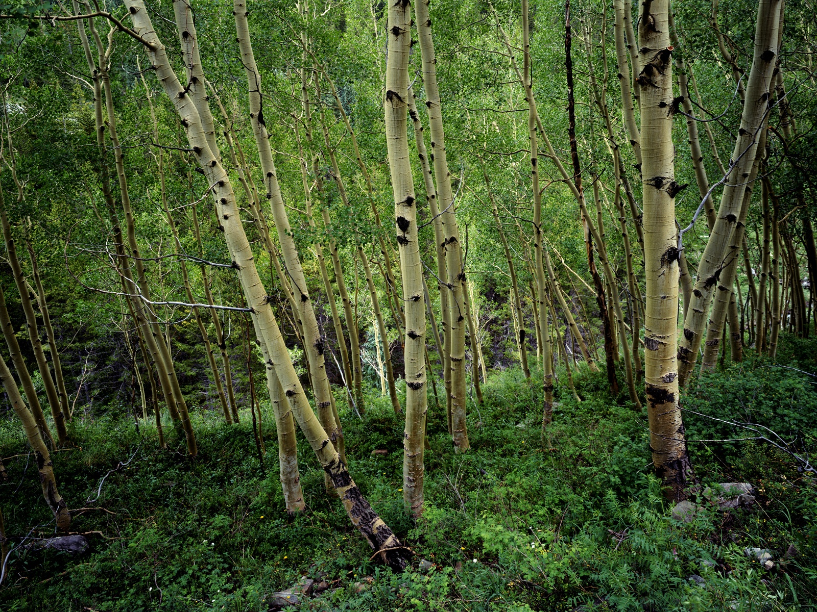 Birch forest wallpapers Birch forest stock photos 1600x1200