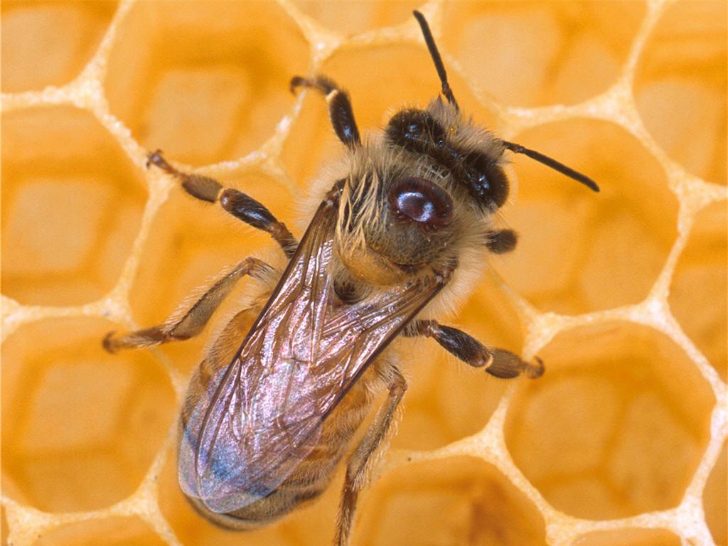 Honey Bee Honey Bee wallpaper Honey Bee picture Honey Bee photo 1024x768