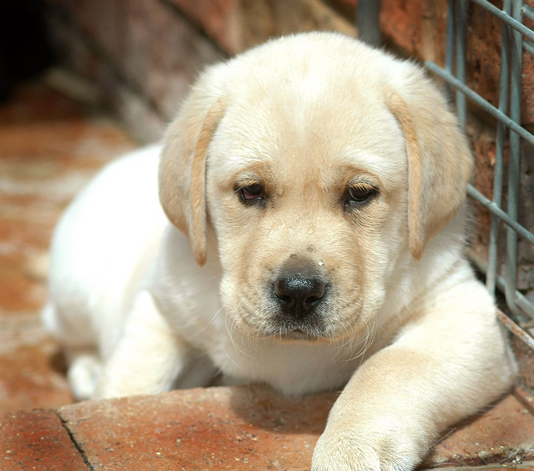 yellow lab puppies animals 1050x926px file size 158 9 kb tags yellow 1050x926