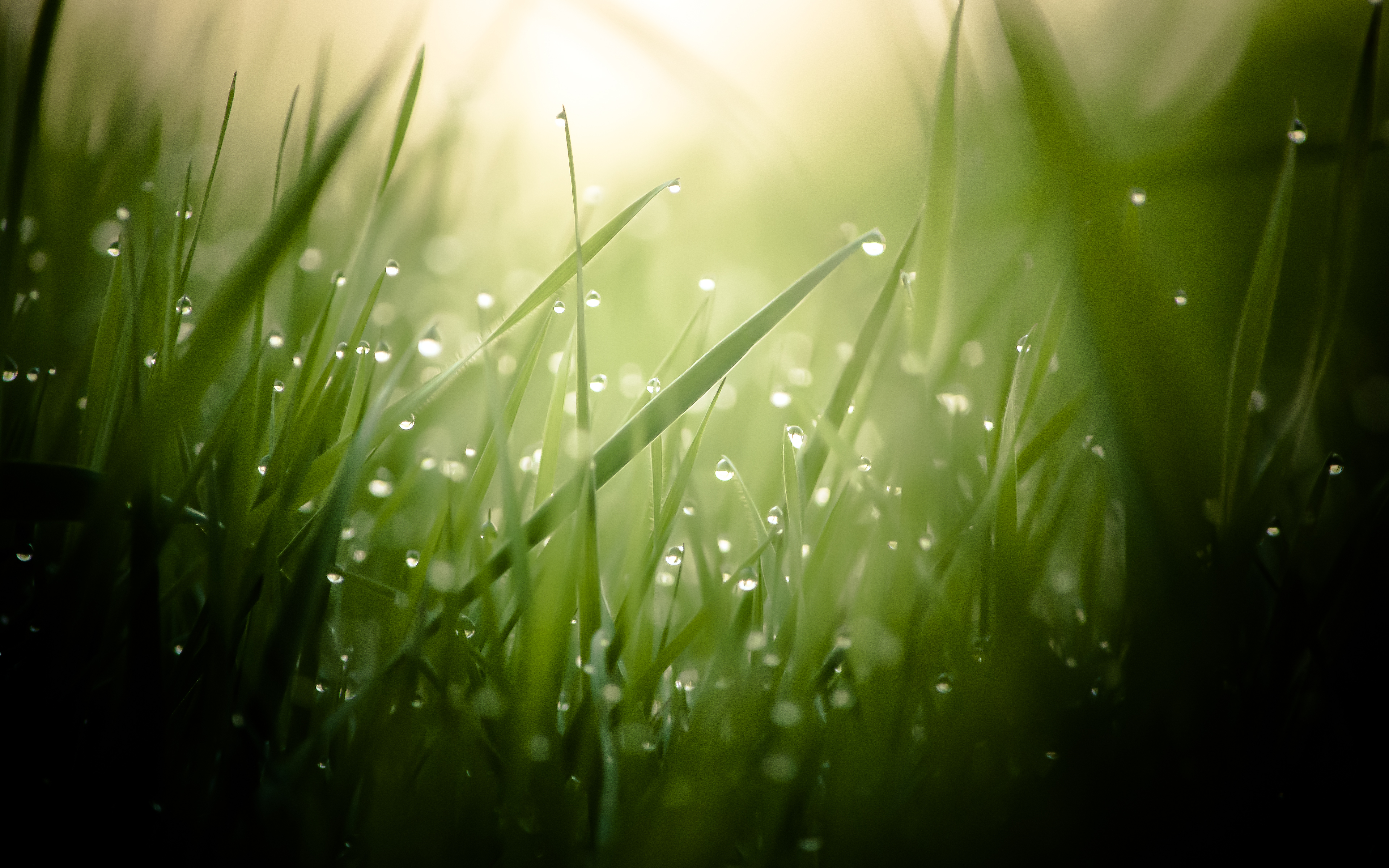 Morning dew on a green grass wallpapers and images   wallpapers 3840x2400